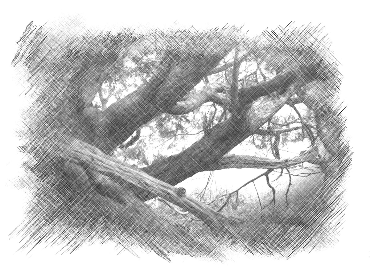 A yew tree
